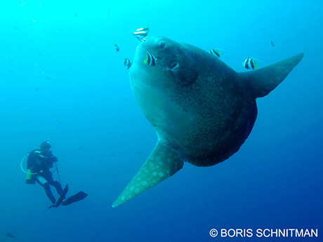 Mola mola in Bali by Boris Schnitman